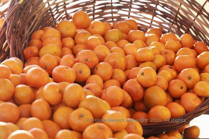 Se necesitan recolectores as para la recogida de la mandarina - Mandarina home espana ...